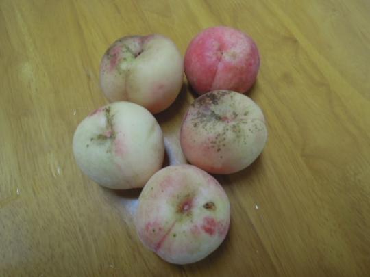 黄金桃の初収穫