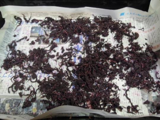 梅紫蘇の乾燥 H26