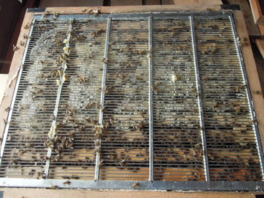 日本蜜蜂の様子 H2609