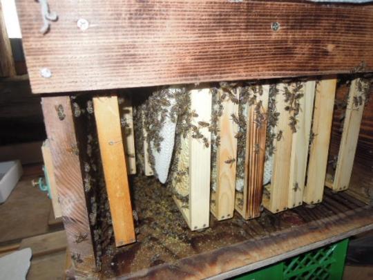 日本蜜蜂の様子1 H2609