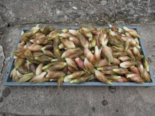 みょうがの収穫 H260902
