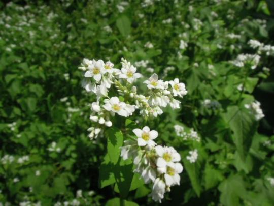 信濃一号の花 H2609