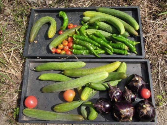 野菜の収穫 H260908