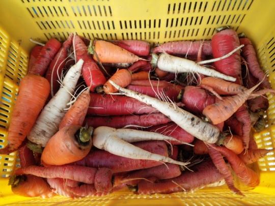 冬越し野菜の収穫H26