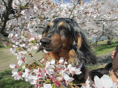2014桜と実結