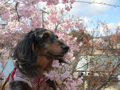 2014枝垂桜と実結