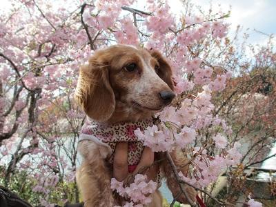 2014枝垂桜と笑花