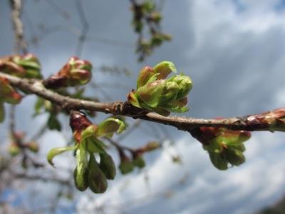 緑色の桜・御衣黄の蕾