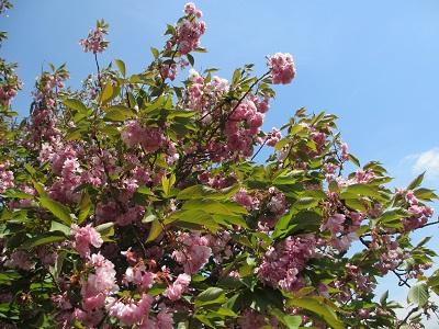 わずかに残ってた山桜