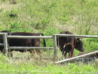 牛さんものぉ~んびり