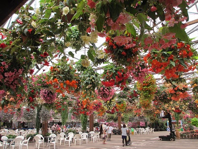 ベゴニアの吊鉢