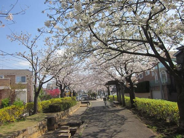 桜8分咲き