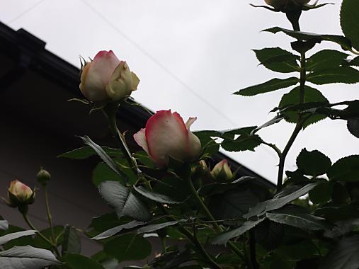 5月14日 ピエール・ド・ロンサール