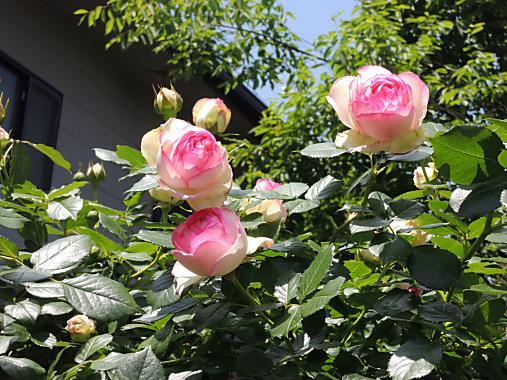5月17日 ピエール・ド・ロンサール3