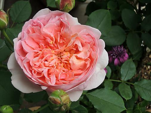 5月20日 プリンセス・アレキサンドラ・オブ・ケント