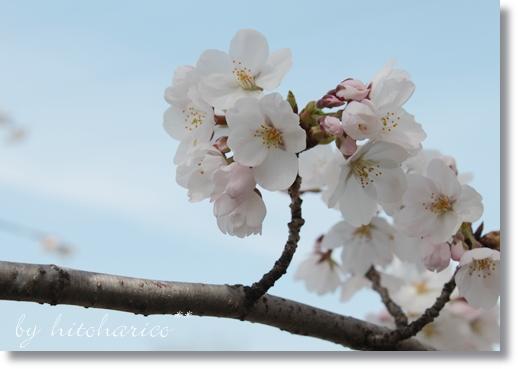 桜2 2014