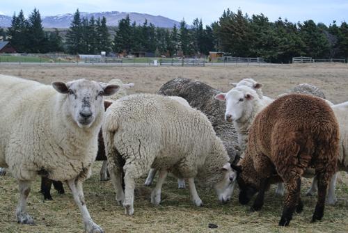 羊の国のラブラドール絵日記シニア!!「羊の国の・・・?」1