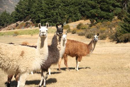 羊の国のラブラドール絵日記シニア!!「タ、タイミングが・・・!」写真