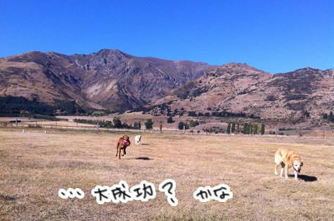 羊の国のラブラドール絵日記シニア!!「お見合いサタデー」写真8