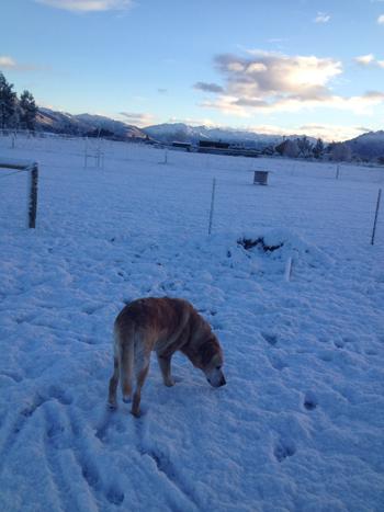 羊の国のラブラドール絵日記シニア!!「雪に遊べば」1