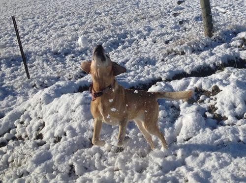 羊の国のラブラドール絵日記シニア!!「雪に遊べば」3