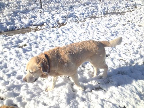 羊の国のラブラドール絵日記シニア!!「雪に遊べば」8