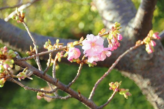 桜が咲いてた~♪1