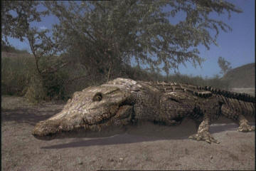 Crocodile9.jpg