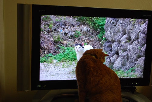 メンメ ボス猫対面 世界猫