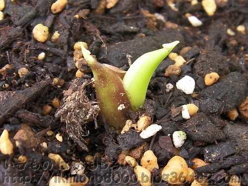 やっと芽を出したサトイモ