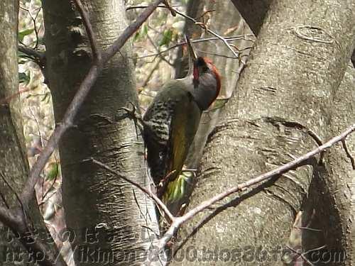 アオゲラ(緑啄木鳥)