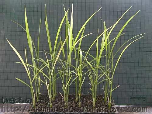 育苗ポットが狭くなるほど成長した1ヶ月目の稲
