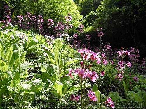 たくさん咲いているクリンソウの花
