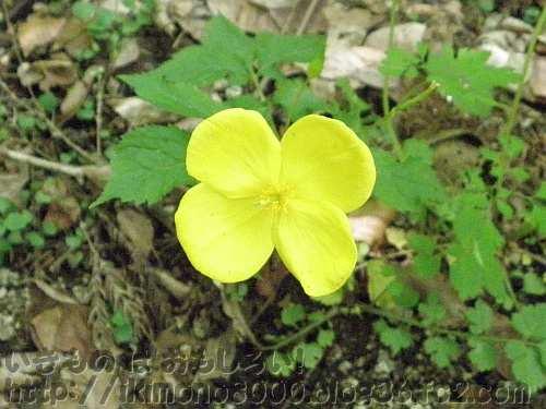 ヤマブキソウの花