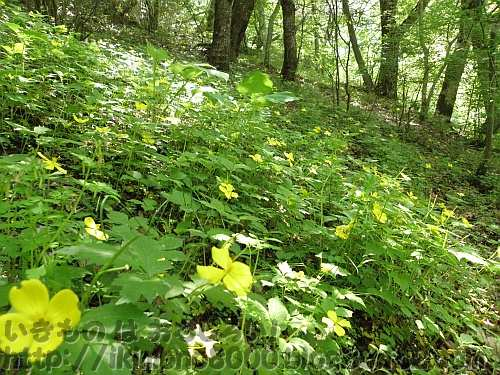 ヤマブキソウで黄色く染まる林床