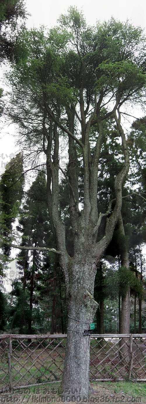 京都府立植物園の針葉樹林のレバノンスギ(2013年1月)