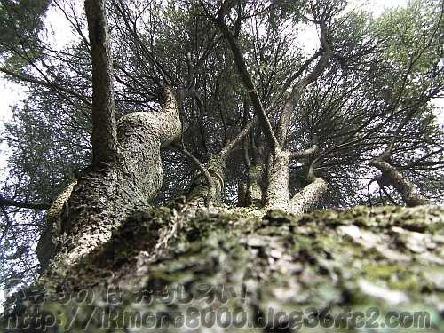 この角度で見ても「杉」よりも「松」