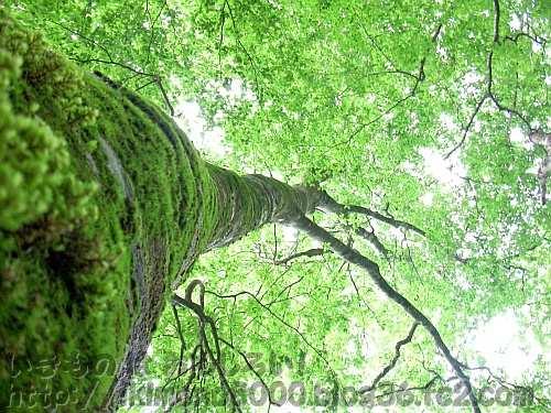 金剛山のブナの巨樹