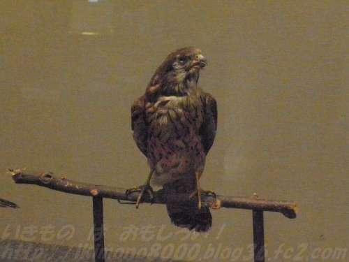 南港野鳥園へ行けばたいてい会えるチョウゲンボウの標本