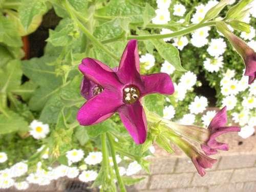 観賞用園芸種のタバコ ニコチアナの花(京都府立植物園)