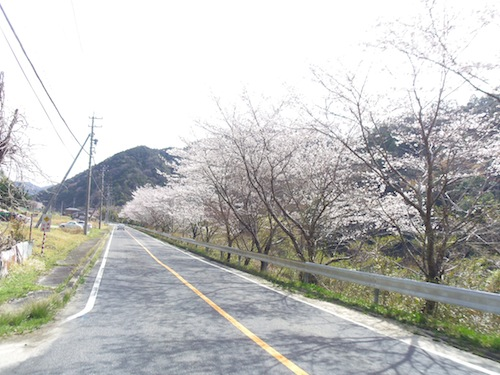 1020桜並木