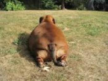 new_肥満犬