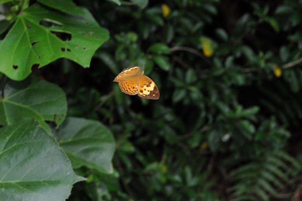 タイワンキマダラ 2012年5月9日