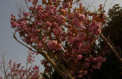 2014八重桜