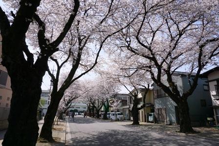 桜散歩 (2)