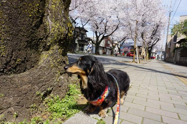 桜散歩 (3)