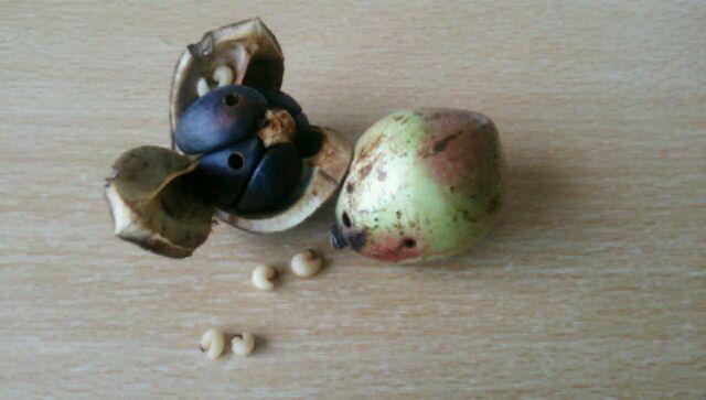 椿の実の中のチャドクガの幼虫