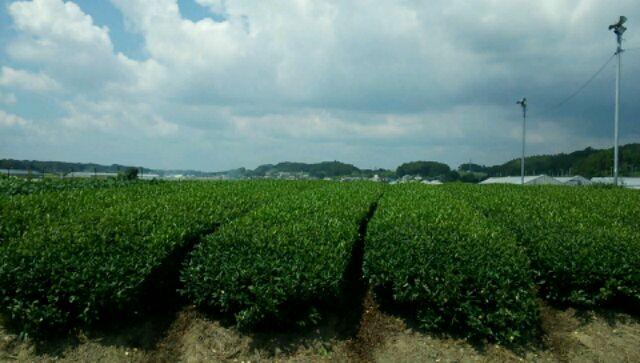 掛川茶 (1)