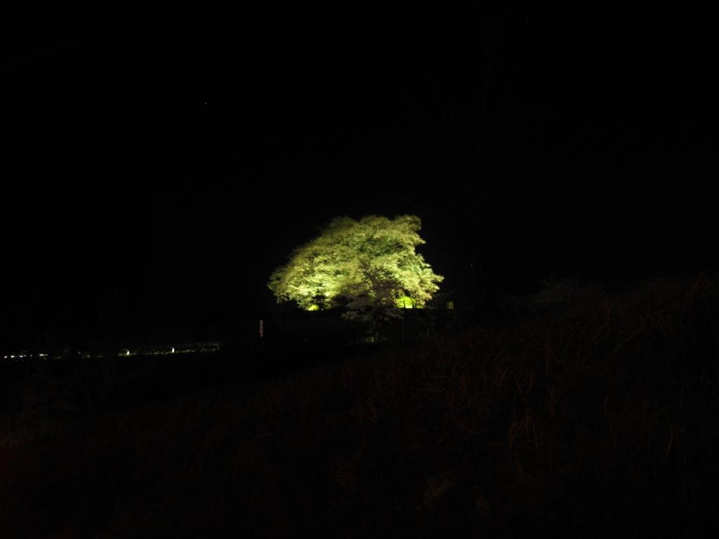 醍醐桜 (1)