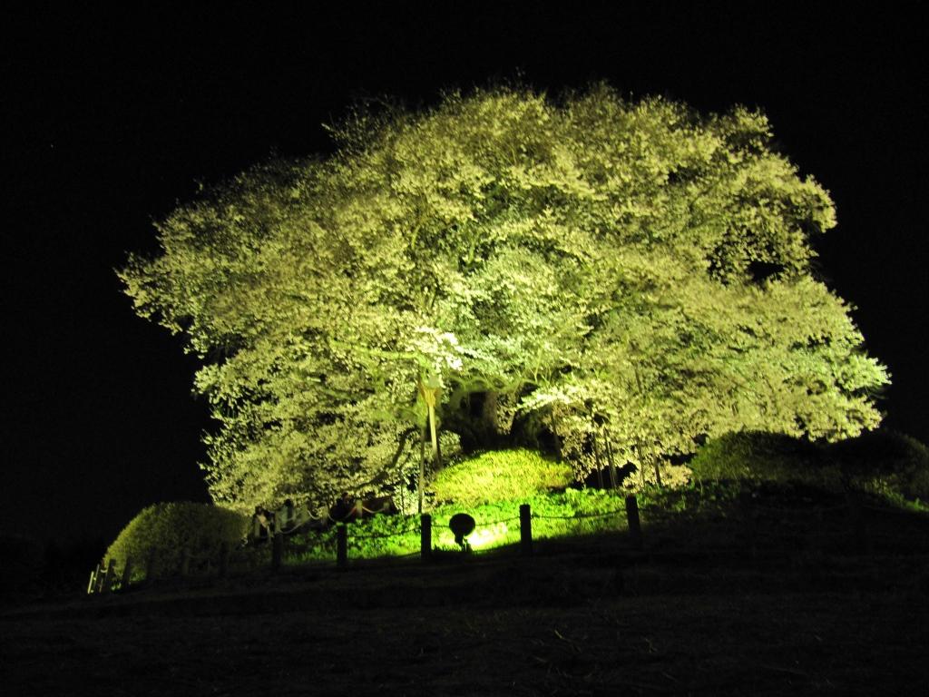 醍醐桜 (3)